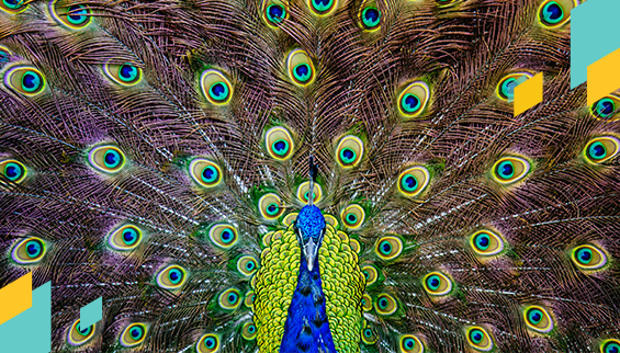 blog-post-582x322-peacock